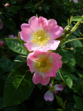 Wild Rose (Dog Rose) 100 seeds - FREE POST